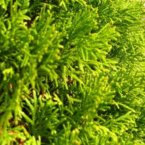 Arborvitae, Emerald Green