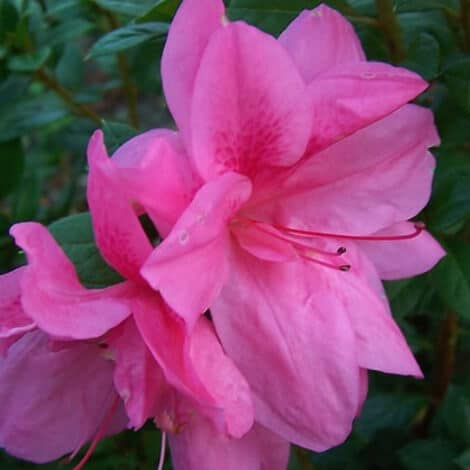 Azalea, Encore Autumn Empress