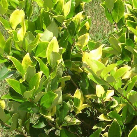 Ligustrum Howardi