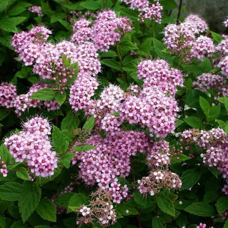 Spirea, Little Princes