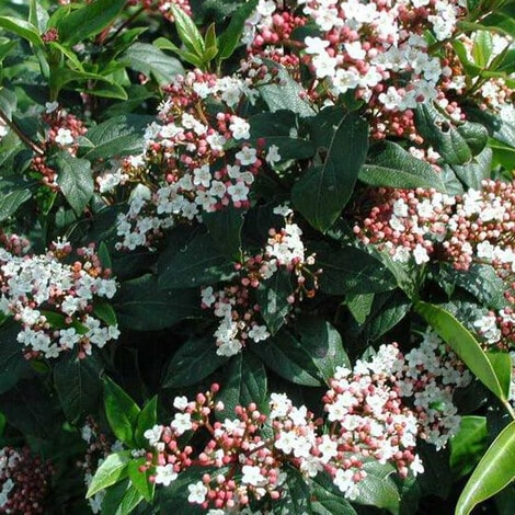 Virburnum Spring Bouquet